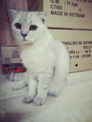 Nhận Phối Mèo Anh Lông Ngắn Giá Rẻ Tại TP.HCM