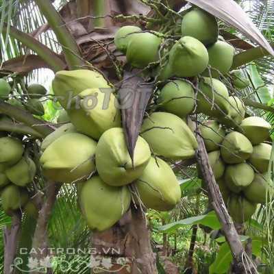 Bán Dừa xiêm xanh