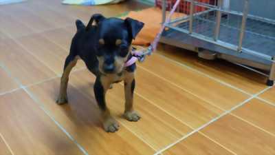 Fox Min Pin 3 tháng tuổi
