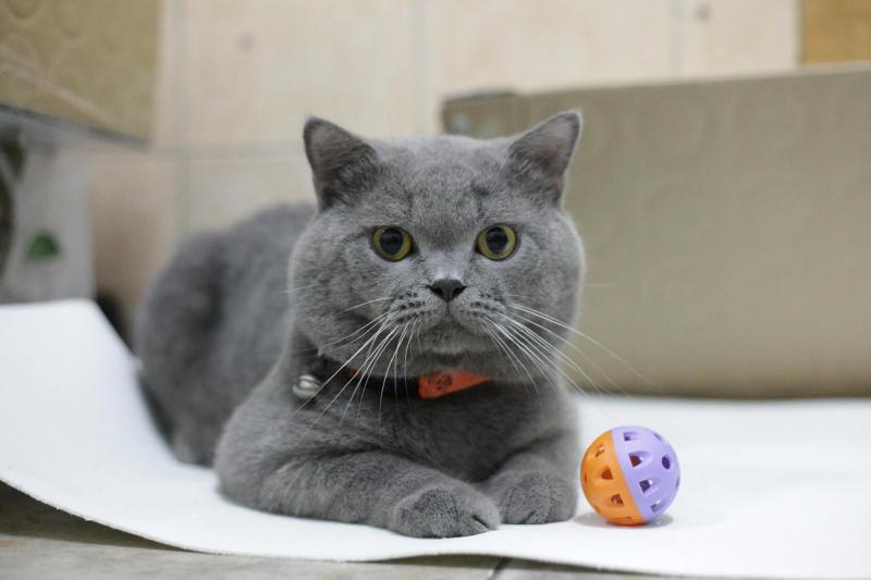 Giá bán mèo anh lông ngắn hiện tại là bao nhiêu