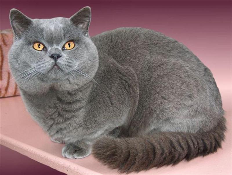 Mua mèo anh lông ngắn tại hà nội ở địa chỉ nào tốt nhất