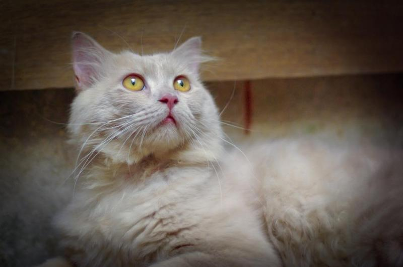 Địa chỉ giúp bạn phối giống mèo anh lông dài Hà Nội thuần chủng