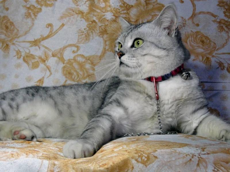 Địa chỉ nhận phối giống mèo anh lông ngắn thuần chủng