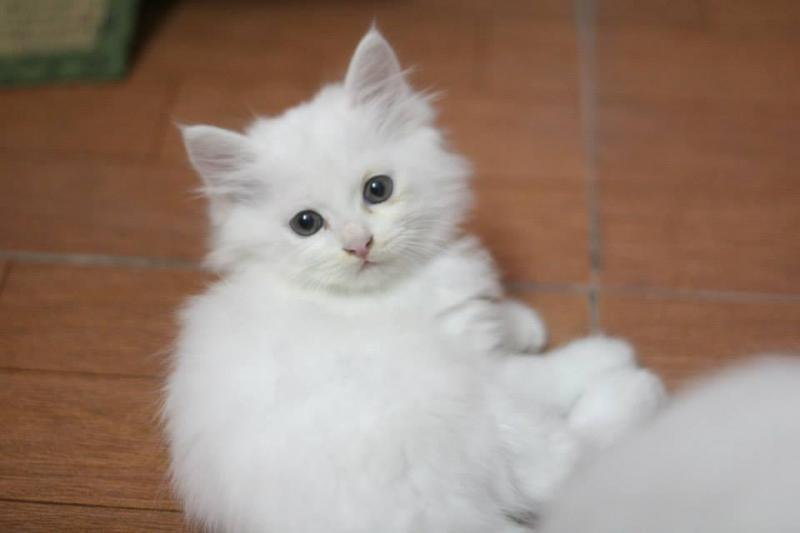 Mèo anh lông dài thuần chủng giá bao nhiêu
