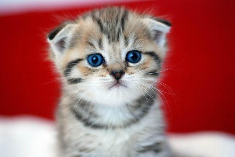 Mèo anh lông ngắn tai cụp giá bao nhiêu? có đặc điểm là gì