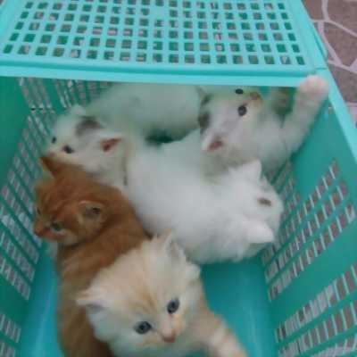 Bán bé mèo Anh lông dài màu trắng