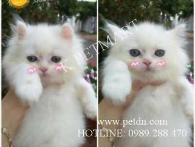 Tìm nhà mới cho mèo lông xù