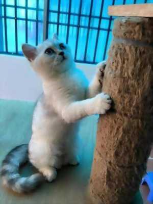 Bán mèo ALN lai 34