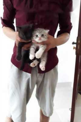 Mình cần bán mèo con Anh lông ngắn