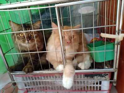 Bán mèo anh lông dà tại Hà Nội.giá hấp dẫn.