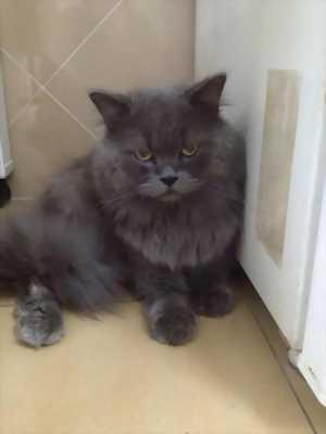 Bán mèo Anh lông dài nhìn cực cool với giá siêu rẻ