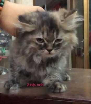 Mình cần bán Mèo Anh lông dài giá hữu nghị