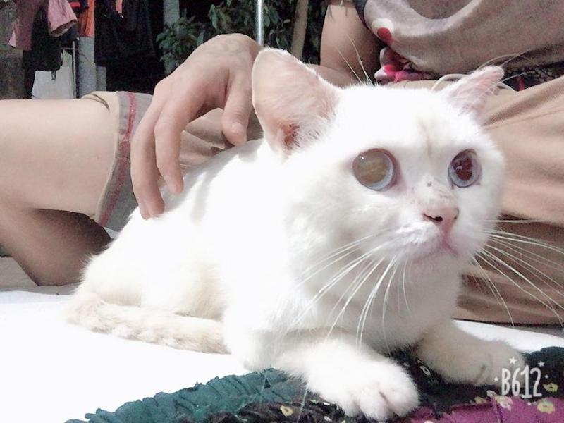 Mèo tây lông trắng
