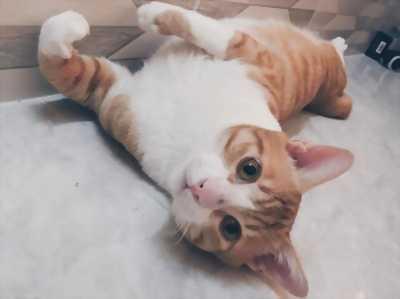 Bán mèo tại Hậu Giang