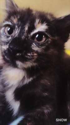 Tìm chủ cho bé mèo Anh