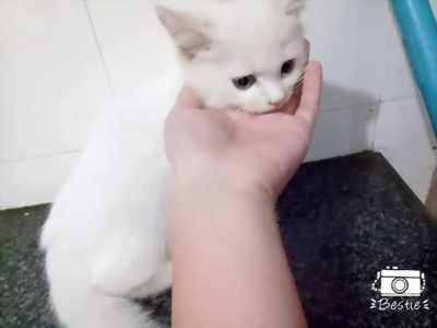 Bán mèo anh lông dài , mới đẻ hơn 2 tháng