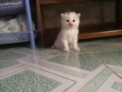 Tìm chủ mới Bé Mèo Anh LD màu Trắng 3 tháng