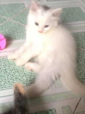 Tôi cần Bán Bé Mèo Anh LD Trắng  3,5 tháng