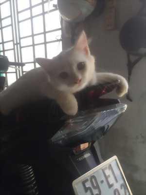 Còn lại 1 Bé Mèo Anh LD màu Trắng