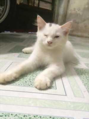Bé Mèo Anh LD 2 triệu màu Trắng