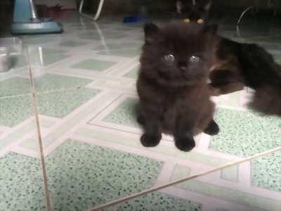 Mình Cần tìm chủ mới cho  bé Mèo Anh LD Nâu Đen