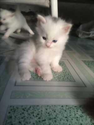 Thanh Lý 3 Bé Mèo Anh LD màu trắng 1 tháng tuổi