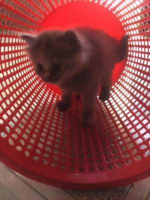 Bé Mèo Anh LD Xám Lông Chuột 1 tháng tuổi