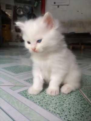 Bé Mèo Anh LD hơn 1 tháng tuổi màu trắng Đực