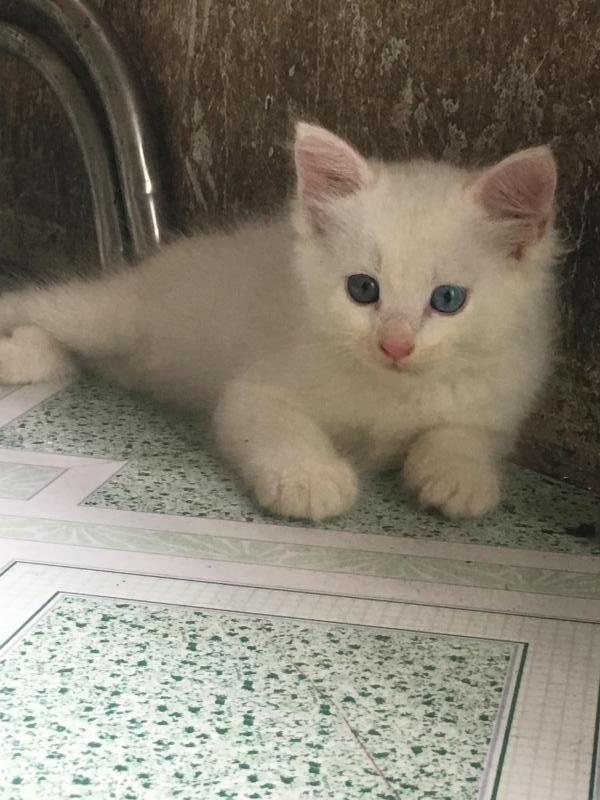 Bé Mèo ALD trắng mắt Xanh+nâu
