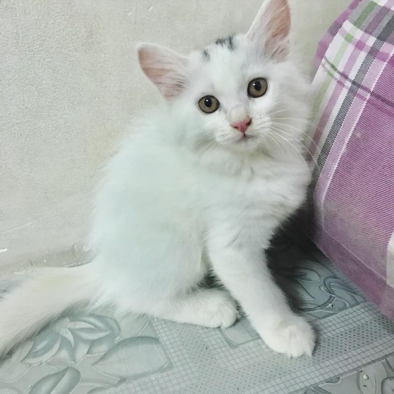 Em mèo trắng lông dài thuần chủng xinh xắn