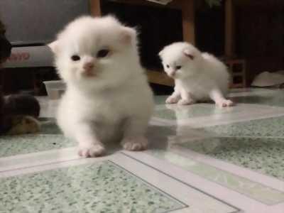 2 Bé Mèo Anh LD màu trắng tại TPHCM