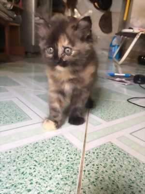 Còn 1 Bé Mèo Anh Lông Dài màu Nâu