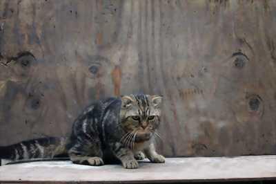 Bán mèo anh lông ngắn scottish brown tabby