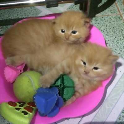 3 Bé Mèo Anh LD Vàng ,Nâu 1 tháng tuổi 2tr/bé