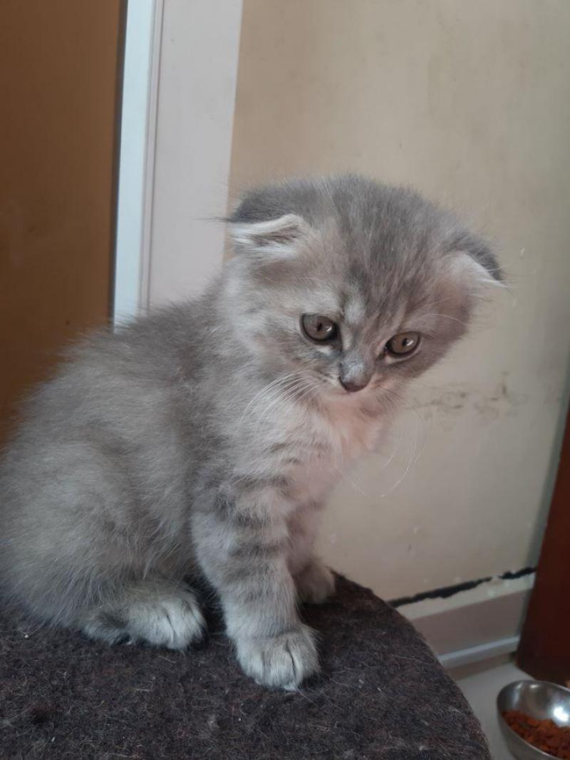 Mèo Ald CÁI - TAI CỤP 3tr2