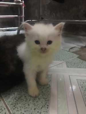 Bán gấp 6 bé Mèo Anh Lông Dài màu Trắng, Nâu 2triệu/bé