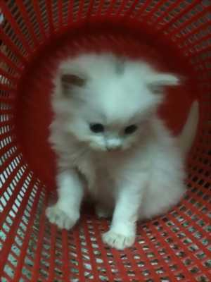 Còn 2 Bé  Mèo Anh lông dài  màu Trắng & Đen : 1,5tr/bé- 2,6 tr/bé