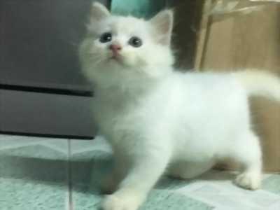 THANH LÝ TÁI ĐÀN 2 Bé Mèo Anh LD 1 tháng 5 ngày  tuổi 2triệu/bé