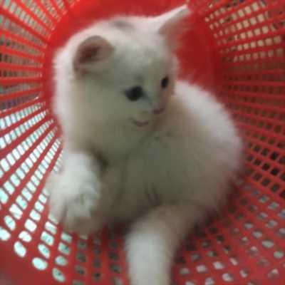 Bán 2 Bé  Mèo Anh LD   Trắng đực 1,5tr/bé- 2,2 tr/bé