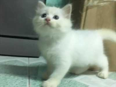 Mèo Anh LD mắt 2 màu Xanh và Nâu