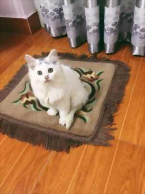 Bán bé mèo đực lai Anh lông dài