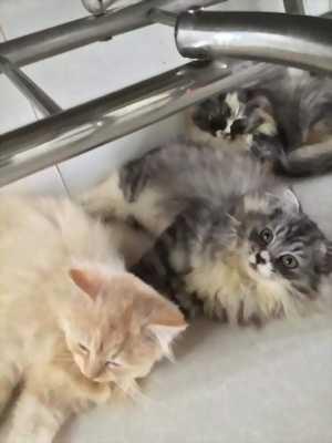 Cần tìm nhà gấp cho các bé mèo ALD tai cụp và tai thẳng