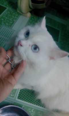 Bán mèo ald thuần chủng màu trắng