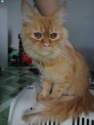 Cần bán mèo anh cam đỏ sọc vằn tabby
