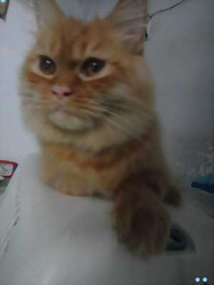 Cần bán mèo ald x aln sọc tabby