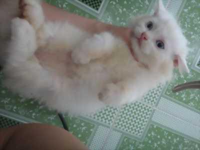 Cần bán bé mèo anh lông dài thuần chủng màu trắng