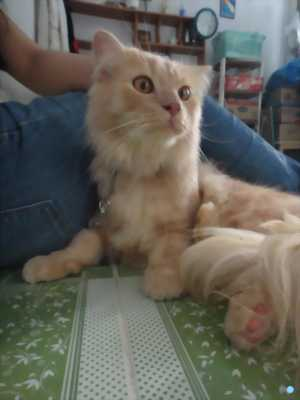Mèo scottish x ald màu hồng phấn