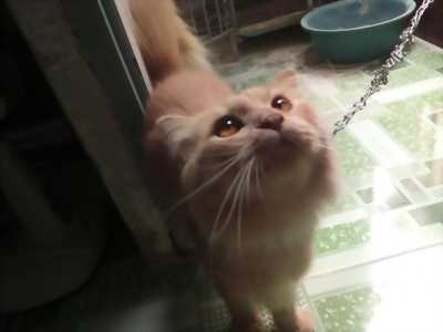 Cần bán mèo scottish lông dài tai cụp màu hồng phấn