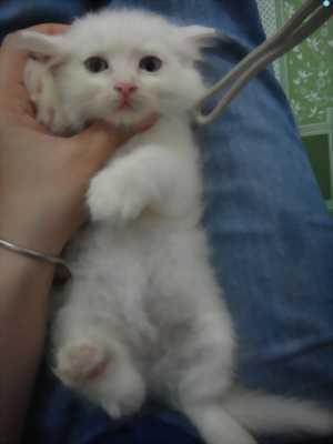 Mèo anh lông dài trắng mắt xanh