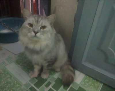 Mèo scottish lông dài tìm chủ